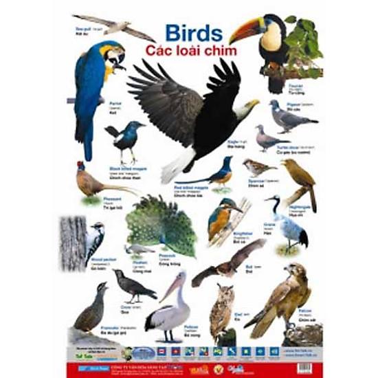Poster Lớn – Các Loài Chim